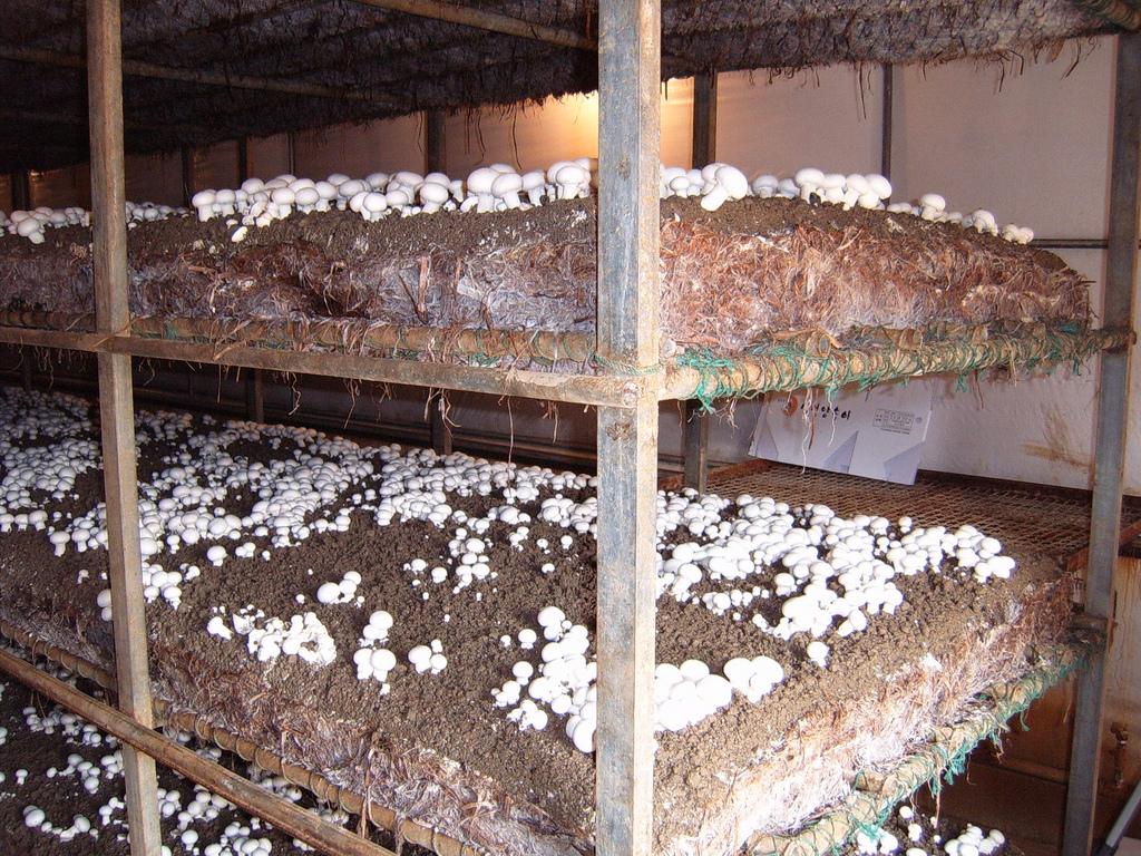 Разводить грибы бизнес