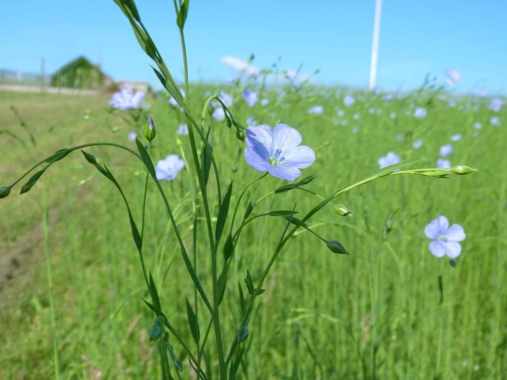 Лён (растение): описание, выращивание, уход, посев, фото